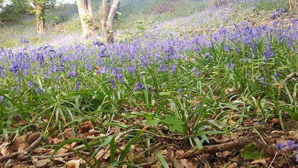 Bluebells at Luxury Self Catering Cottages Mourne, Co Down