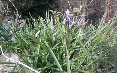 The bluebells are coming!!